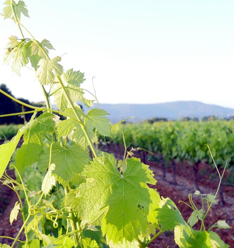 les vignes de Provence
